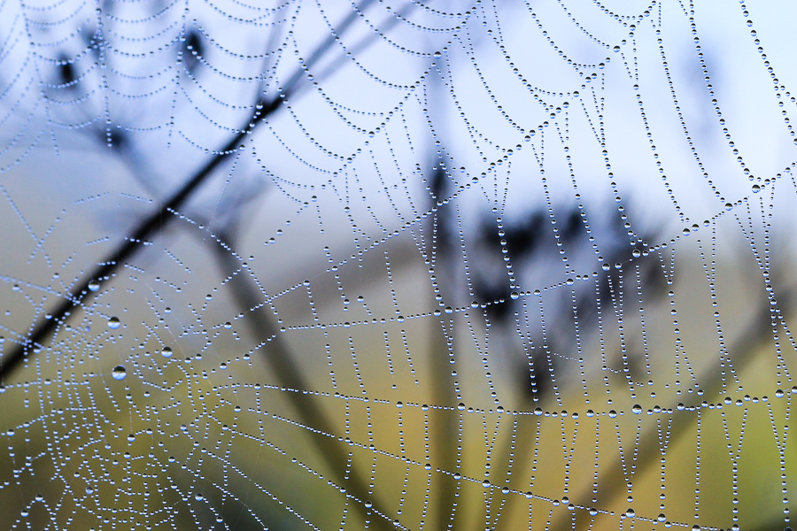 Dew Drops In The Web