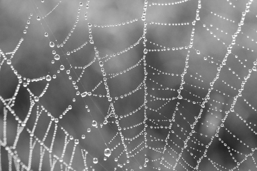 Monocrome Drops In The Web