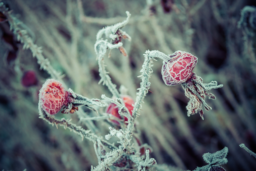 Frosty rosehips